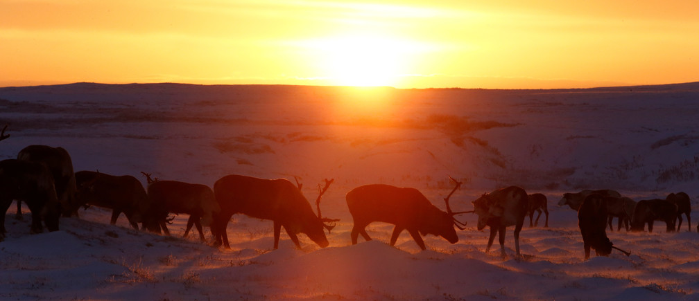 "Reindeers graze in the tundra area during sunset in Nenets Autonomous District, Russia, November 26, 2016. Picture taken November 26, 2016. REUTERS/Sergei Karpukhin     SEARCH ""REINDEER ARCTIC"" FOR THIS STORY. SEARCH ""THE WIDER IMAGE"" FOR ALL STORIES. - RC1FDFF18720"