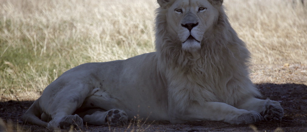 "A white lion named Brutus is seen at the Drakenstein Lion Park near Cape Town December 29, 2015. Brutus, who fathered three ""miracle"" cubs despite having had a vasectomy in his youth, is going back to the vet to have the operation a second time. Brutus and his partner Nala, who live at the Drakenstein Lion Park, stunned staff at the sanctuary when she gave birth to the cubs just before Christmas. REUTERS/Mark Wessels   TPX IMAGES OF THE DAY      - RTX20F58"