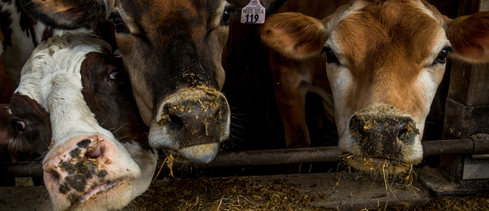"Miss USA and two other dairy cows eat their breakfast after their morning milking at EMMA Acres dairy farm, in Exeter, Rhode Island, U.S., 7 April, 2018. Scooter and Cynthia LaPrise have about 30 cows on one of eight remaining dairy farms in Rhode Island. Miss USA is their daughter Maggie's show cow that was recently named Supreme Champion at this year's New England 4-H Program. REUTERS/Oliver Doyle  SEARCH ""USA DAIRY"" FOR THIS STORY. SEARCH ""WIDER IMAGE"" FOR ALL STORIES. - RC1D1C7BEAE0"