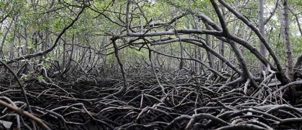 Mangrove forests are pictured on the Caratingui river in Cairu, state of Bahia, Brazil, March 31, 2019. REUTERS/Nacho Doce - RC1A0731D770