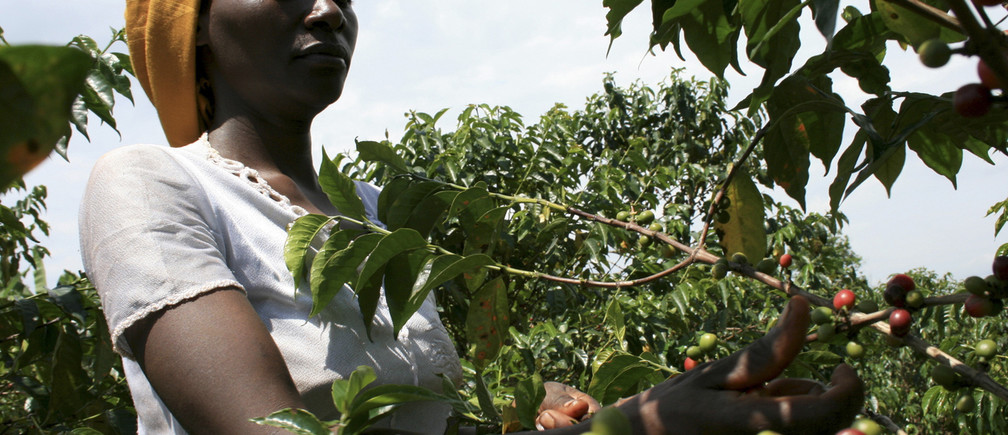 A farmer picks coffee bean cherries on the outskirts of Kigali, May 28, 2009. REUTERS/Hereward Holland (RWANDA ENVIRONMENT AGRICULTURE BUSINESS) - GM1E56T1O8501
