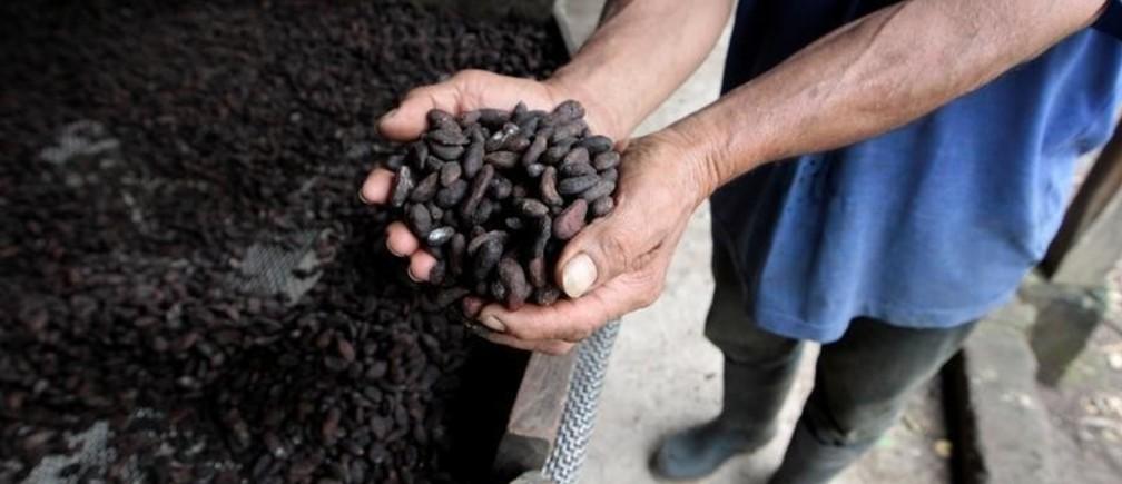 A man examines cocoa beans at La Calera farm in Granada, Nicaragua July 21, 2017. Picture taken July 21, 2017. REUTERS/Oswaldo Rivas - RC187437A8D0