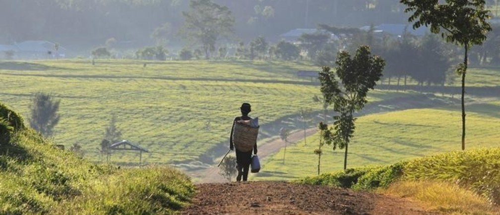 A man walks in the early morning to start his day picking tea leaves at a plantation in Nandi Hills, in Kenya's highlands region west of capital Nairobi, November 5, 2014. Emerald-coloured tea bushes blanketing the rolling hills of Nandi County have long provided a livelihood for small-scale farmers, helping make Kenya one of the world's biggest tea exporters. But ideal weather and bigger harvests, instead of producing bumper earnings, have led to a glut of Kenya's speciality black tea. Picture taken November 5, 2014. To match story KENYA-TEA/ REUTERS/Noor Khamis (KENYA - Tags: AGRICULTURE BUSINESS EMPLOYMENT COMMODITIES)