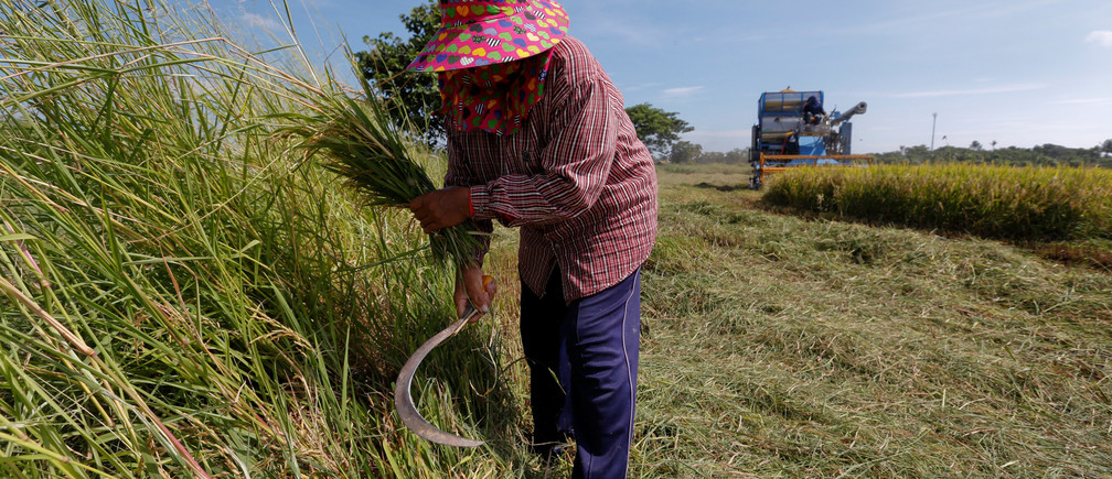 A farmer works in her rice field in Suphan Buri province, north of Bangkok, Thailand November 2, 2016.  REUTERS/Chaiwat Subprasom   - D1BEUKLYCMAA