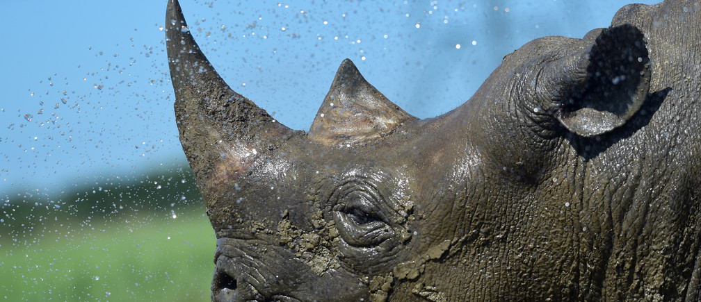 Nkosi, a critically endangered Eastern Black Rhino is hosed down by its keeper at Folly Farm and Zoo, Begelly, Pembrokeshire, Wales, Britain. July 25, 2019.