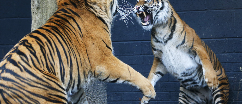 Melati (R), a four year old Sumatran Tiger and Jae Jae, her five year old male companion, face off in their new 2,500 square meter enclosure at London Zoo March 22, 2013. The zoo hopes that Melati and Jae Jae, will breed in captivity. REUTERS/Andrew Winning (BRITAIN - Tags: ANIMALS ENVIRONMENT SOCIETY) - LM1E93M1DT101