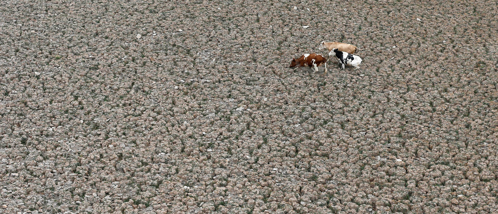 Cows are seen on a land that used to be filled with water, at the Aculeo Lagoon in Paine, Chile  January 9, 2019. Picture taken January 9, 2019. REUTERS/Rodrigo Garrido - RC12E98D2A70