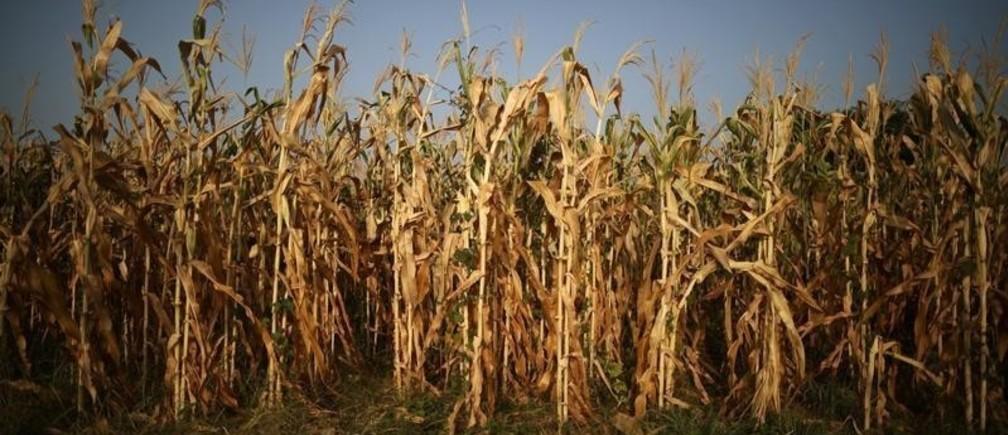 Corn plants are seen in a drought-affected farm near the town of Tecoluca, El Salvador, July 25, 2018. REUTERS/Jose Cabezas - RC17B7067E10