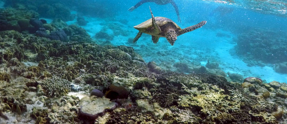 "Tourists snorkel near a turtle as it looks for food amongst the coral in the lagoon at Lady Elliot Island north-east of the town of Bundaberg in Queensland, Australia, June 9, 2015. The lagoon, which is occupied by turtles during high tide, is only accessible for snorkelling during this time. UNESCO World Heritage delegates recently snorkelled on Australia's Great Barrier Reef, thousands of coral reefs, which stretch over 2,000 km off the northeast coast. Surrounded by manta rays, dolphins and reef sharks, their mission was to check the health of the world's largest living ecosystem, which brings in billions of dollars a year in tourism. Some coral has been badly damaged and animal species, including dugong and large green turtles, are threatened. UNESCO will say on Wednesday whether it will place the reef on a list of endangered World Heritage sites, a move the Australian government wants to avoid at all costs, having lobbied hard overseas. Earlier this year, UNESCO said the reef's outlook was ""poor"".  REUTERS/David GrayPICTURE 9 OF 23 FOR WIDER IMAGE STORY ""GREAT BARRIER REEF AT RISK""SEARCH ""GRAY REEF"" FOR ALL PICTURES - GF10000143346"