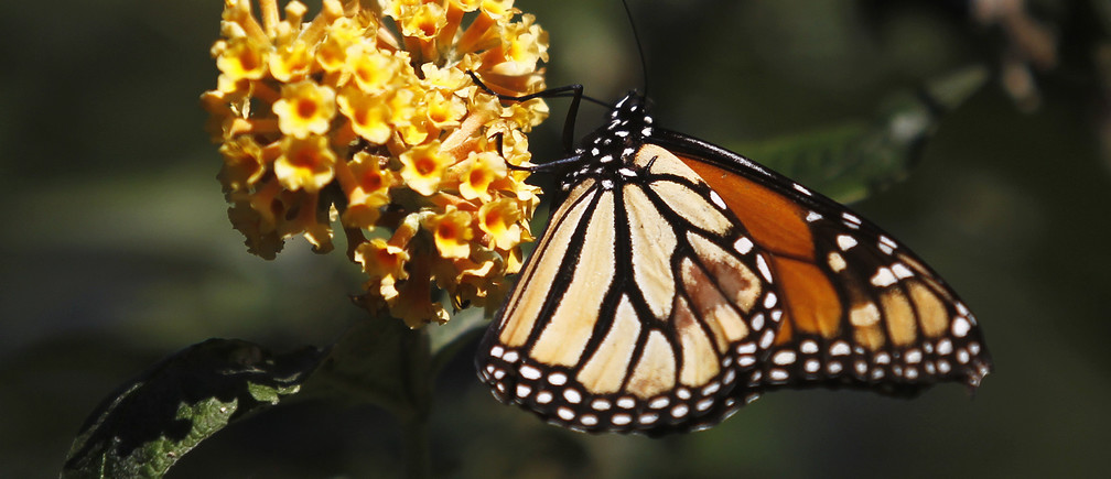 A monarch butterfly clings to a plant at the Monarch Grove Sanctuary in Pacific Grove, California, December 30, 2014. Monarch butterflies may warrant U.S. Endangered Species Act protection because of farm-related habitat loss blamed for sharp declines in cross-country migrations of the orange-and-black insects, the U.S. Fish and Wildlife Service said.