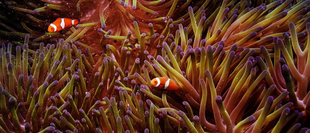 Two clownfish swim inside of a sea anemone in the Great Barrier Reef off the coast of Cairns, Australia October 26, 2019. REUTERS/Lucas Jackson