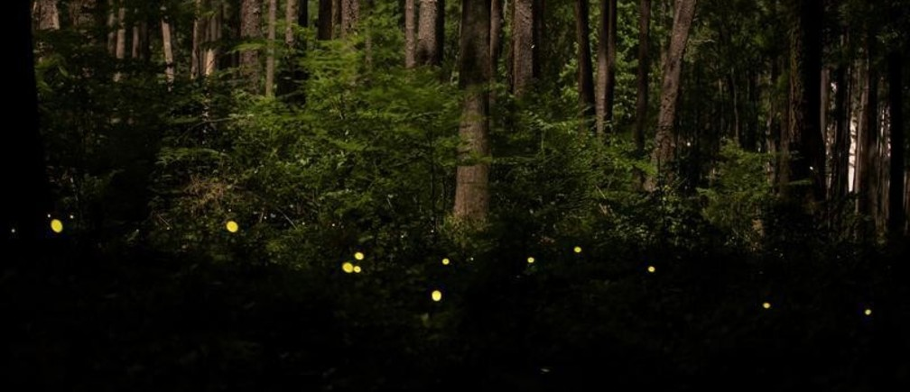 Synchronous fireflies, which appear annually for roughly two and a half weeks typically from the middle of May until the beginning of June, light up along the Bluff Trail at Congaree National Park in Hopkins, South Carolina, U.S., May 13, 2019. Picture taken May 13, 2019.  REUTERS/Sam Wolfe - RC1C78DF5220