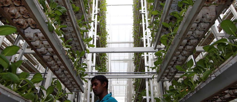 A worker harvests vegetables at a vertical farm in Singapore.
