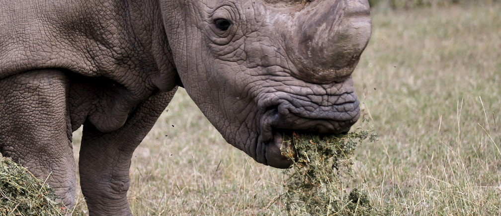 The last surviving male northern white rhino named 'Sudan' grazes at the Ol Pejeta Conservancy in Laikipia national park, Kenya June 14, 2015. A cricket tournament was hosted at the home of the last surviving male northern white rhino, and hopes to raise awareness of the plight of endangered animals and the need for community involvement in conservation. REUTERS/Thomas Mukoya - RTX1GH0G