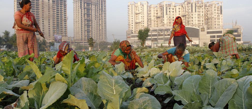 Women work in a cauliflower field in Kolkata November 28, 2013.