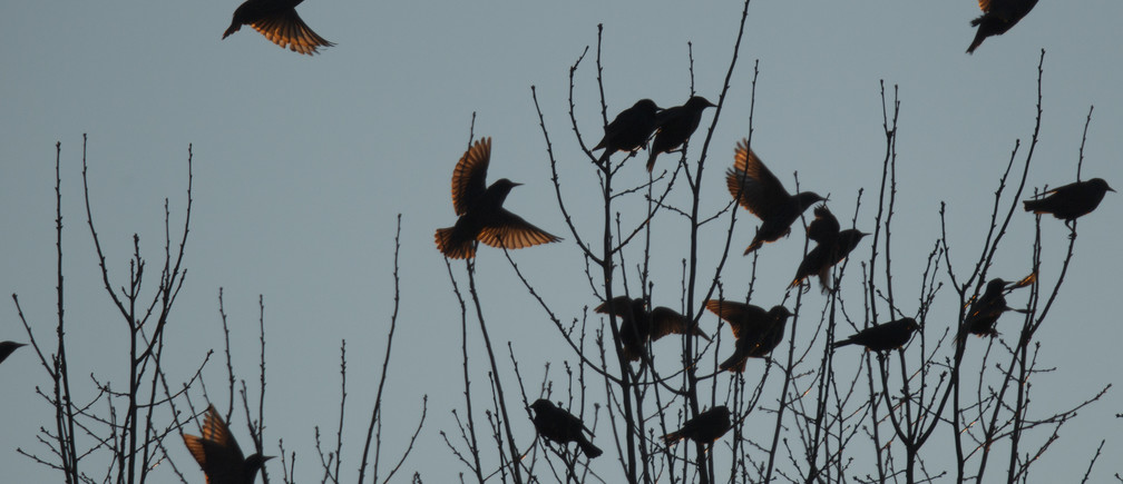 A flock of blackbirds perch in trees in the town on Hopkinsville, Kentucky February 16, 2013. Millions of birds have descended on the small Kentucky city this winter, fouling the landscape, scaring pets and raising the risk for disease.  REUTERS/Harrison McClary  (UNITED STATES - Tags: ANIMALS ENVIRONMENT SOCIETY) - TM4E92G1KZ001