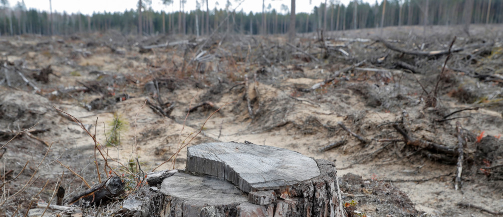 Pine stump is left after deforestation in a forest near the village of Piatrylava, Belarus April 21, 2020.  REUTERS/Vasily Fedosenko - RC209G9KVJAL