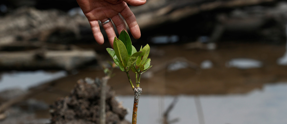 Village leader Matakin Bondien points to a young mangrove plant which has sprouted in a clearing where mangrove trees were felled in Pitas, Sabah, Malaysia, July 6, 2018. Picture taken July 6, 2018.   To match Special Report OCEANS-TIDE/SHRIMP   REUTERS/Edgar Su - RC1889158760