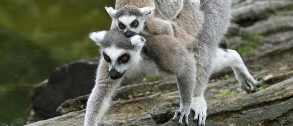 A baby Ring-tailed Lemur rests on its mothers back at Schoenbrunn zoo in Vienna May 7, 2010. REUTERS/Leonhard Foeger  (AUSTRIA - Tags: ANIMALS IMAGES OF THE DAY)