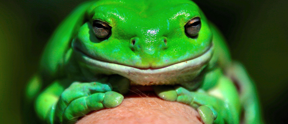 "An Australian Green Tree frog named ""Godzilla"" sits on the hand of Kathy Potter of the Frog and Toad Study Group during the launch of the Australian Museum's national frog count phone app called ""FrogID"" in Sydney, Australia, November 10, 2017.  REUTERS/David Gray     TPX IMAGES OF THE DAY - RC1D8D2AE180"