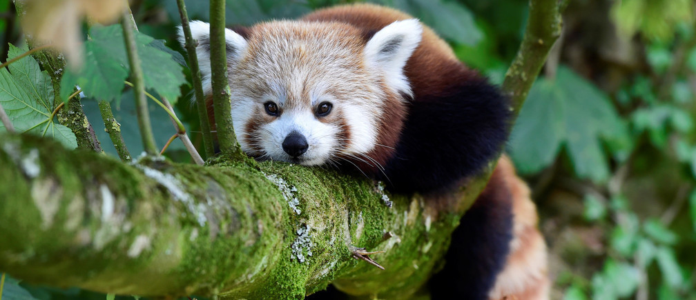 絶滅危惧種であるレッサーパンダの個体数は10,000頭以下