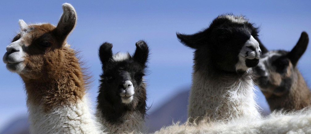 Llamas are seen in Pisiga, near the border with Chile, July 23, 2009.  REUTERS/Daniel Caballero (BOLIVIA ENVIRONMENT ANIMALS) - GM1E57O0LST01