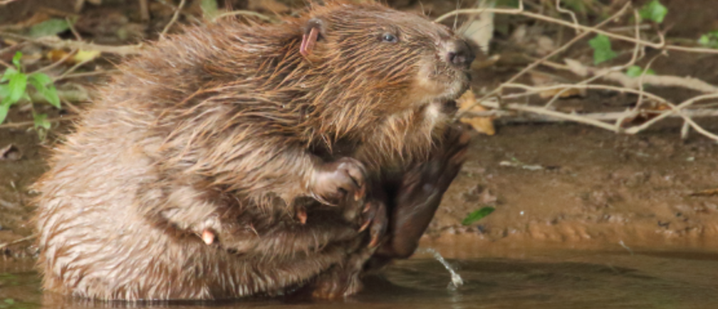 A beaver by the river bank