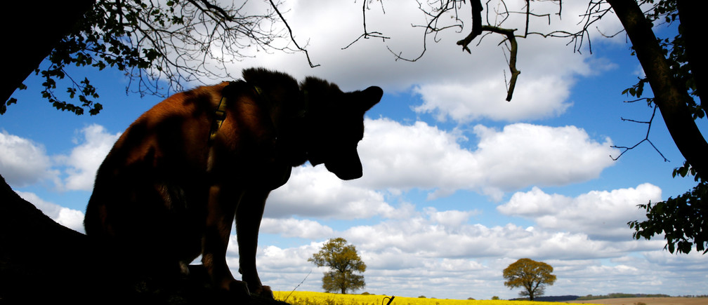 A dog sits in the shade of a tree in front of a rape seed field near Harpenden, Britain, April 25, 2017. REUTERS/Peter Cziborra - RC1AE00C7050