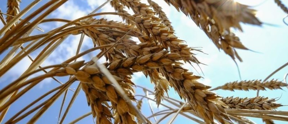 Wheat is seen in a field near the southern Ukranian city of Nikolaev July 8, 2013. Prices for wheat supplies with 12.5 percent protein content were unchanged at $252 per tonne in the Black Sea on a free-on-board (FOB) basis last week, according to IKAR on July 29. Prices in shallow-water ports rose $1 to $222 per tonne. Picture taken July 8, 2013.   REUTERS/Vincent Mundy (UKRAINE - Tags: AGRICULTURE BUSINESS) - RTX123OJ