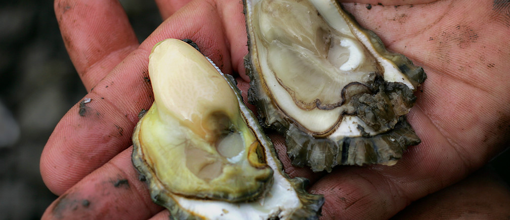 Third generation oyster farmer Rob Moxham compares a plump, healthy oyster (L) to one that is affected by QX parasite at his farm on the Hawkesbury River, about 45 km (28 miles) north of Sydney, May 2, 2005. Sydney's world-famous rock oysters, the high point of Australian cuisine, are being attacked by a mystery parasite and are slowly starving to death. To match feature Environment-Australia-Oysters. REUTERS/Tim Wimborne  TBW/TC - RP6DRMTYKYAB