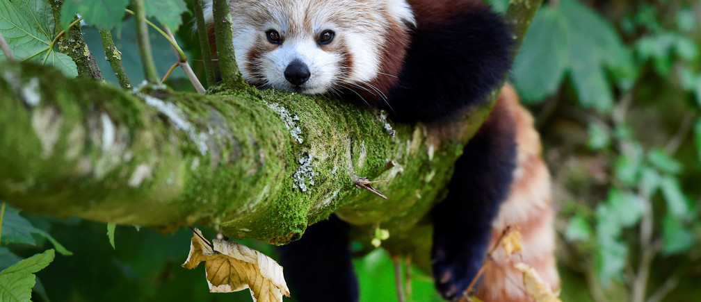 A one year old Red Panda sits in the trees having only recently arrived to a brand new enclosure at the Manor Wildlife Park, St Florence, near Tenby in Wales, July 18, 2018. The Red Panda has been classified as endangered by the IUCN, because its wild population is estimated at less than 10,000 mature individuals and continues to decline due to habitat loss and fragmentation, poaching, and inbreeding depression, although red pandas are protected by national laws in their range countries. REUTERS/Rebecca Naden - RC1D73A20520