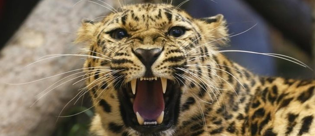Dora, a 3 year-old female Amur leopard born in the zoo of Tallinn and then transported to Krasnoyarsk, growls inside an enclosure at the Royev Ruchey zoo in the Siberian city of Krasnoyarsk, Russia July 14, 2017. Picture taken July 14, 2017. REUTERS/Ilya Naymushin