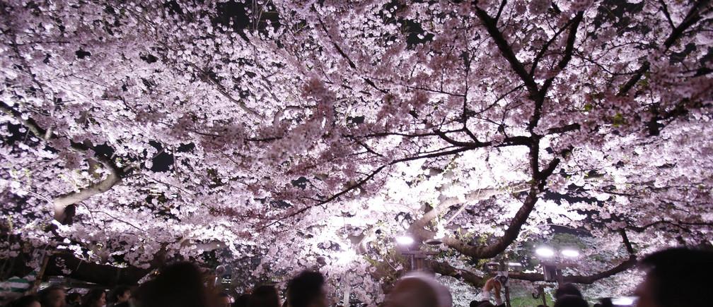 Visitors walk under illuminated cherry blossoms in full bloom along the Chidorigafuchi Moat in Tokyo, Japan, April 6, 2016. REUTERS/Yuya Shino - D1AESWVACTAD