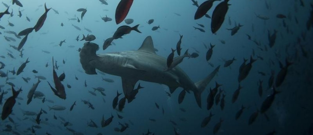 A hammerhead shark swims close to Wolf Island at Galapagos Marine Reserve August 19, 2013. Picture taken August 19, 2013.  REUTERS/Jorge Silva (ECUADOR - Tags: ENVIRONMENT SOCIETY ANIMALS TRAVEL) - GM1E99316A201