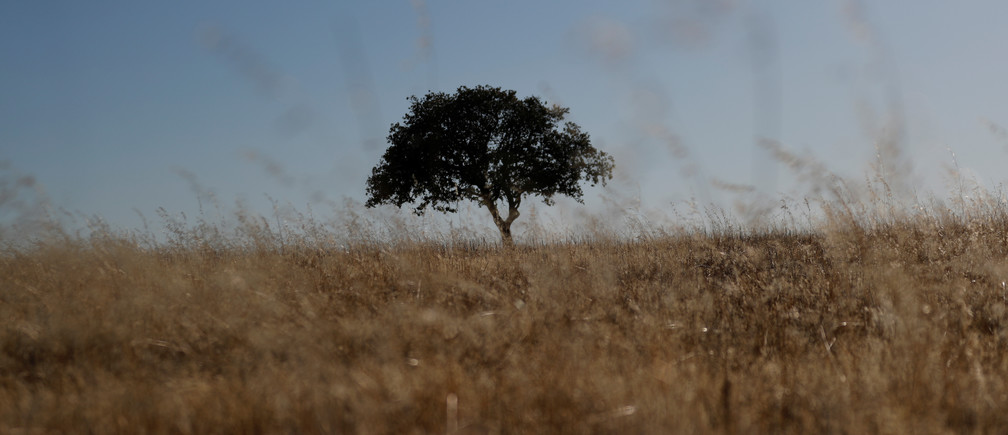 "A tree stands in a field at an intensive farm near Monsaraz, Portugal, August 8, 2018. REUTERS/Rafael Marchante  SEARCH ""MARCHANTE ALQUEVA"" FOR THIS STORY. SEARCH ""WIDER IMAGE"" FOR ALL STORIES. - RC1D14B0D010"
