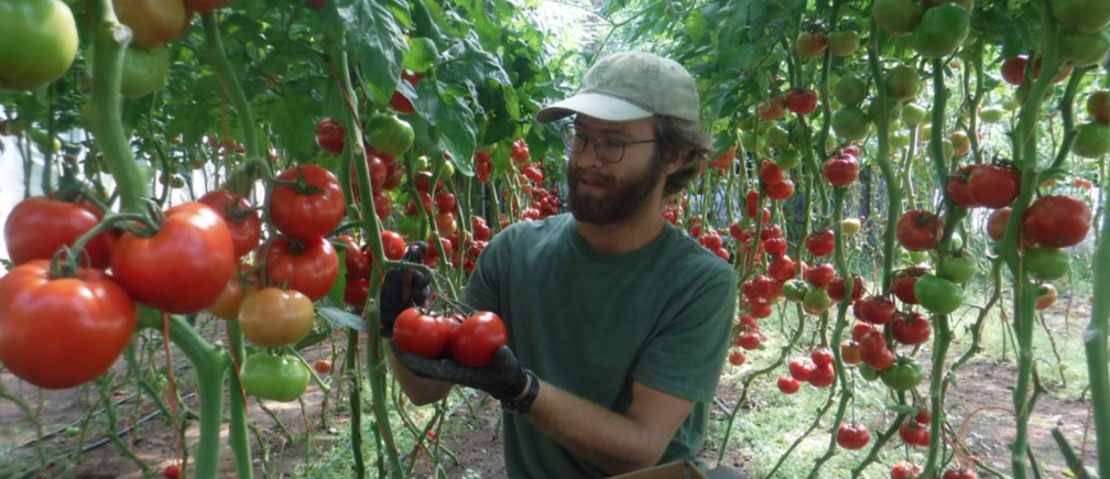 Sean Van Zeeland picks tomatoes at Great Oak Farm, Mason, Wisconsin, August 19, 2019. Handout: Chris Duke
