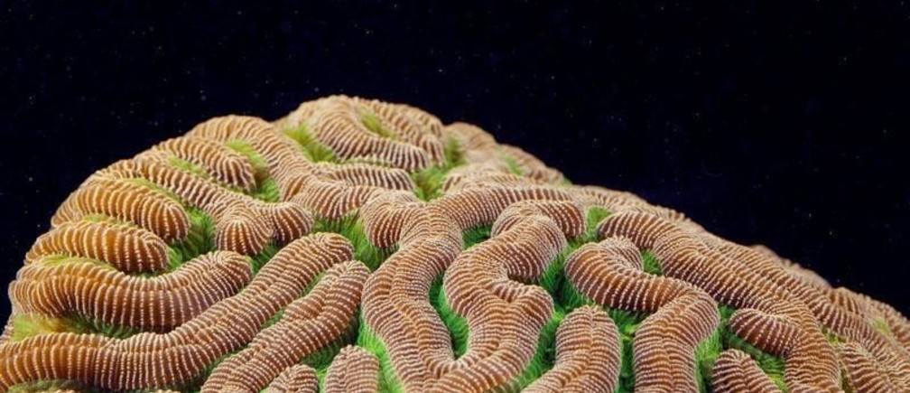 Polyps on a Colpophyllia natans(Boulder Brain Coral) create patterns on top of it's skeletal base as the coral rests in a laboratory at a Florida Aquarium facility near Tampa, Florida, U.S. August 14, 2019. This coral is extremely susceptible to Stony Coral Tissue Loss Disease (SCTLD). REUTERS/Lucas Jackson - RC15919582E0