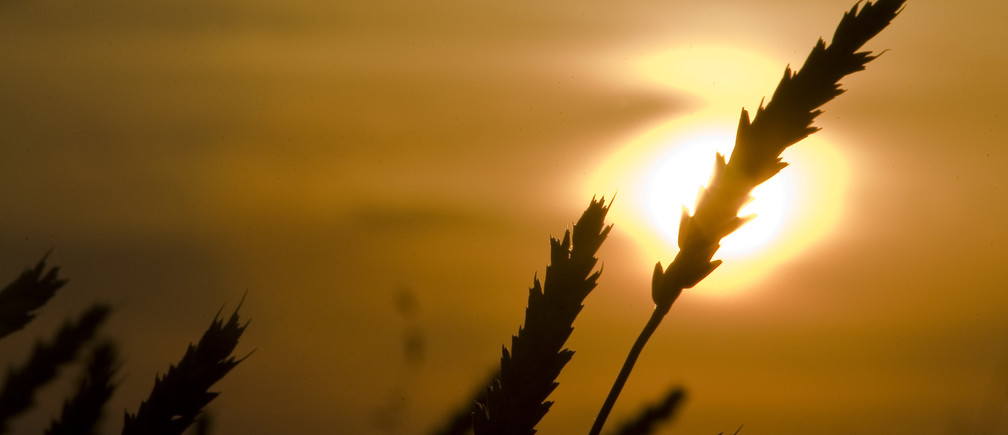Wheat is seen during sunset at the Alibi-Ishim farm, near the village of Birlik, some 500 km (311 miles) northwest of Astana, August 26, 2010. Picture taken August 26, 2010. REUTERS/Shamil Zhumatov  (KAZAKHSTAN - Tags: AGRICULTURE FOOD BUSINESS) - GM1E68R1UEG01