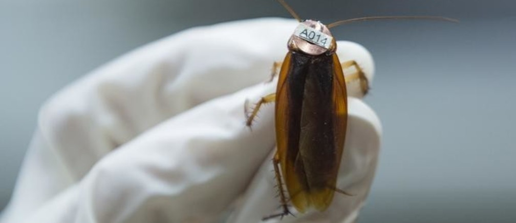 "An american cockroach (Periplaneta americana), on which a radio tag is attached, is seen at the Universite libre de Bruxelles (ULB) in Brussels March 6, 2015. Isaac Planas Sitja from Spain, a researcher at the ULB conducting the experiment, said they observed ""personalities"" among cockroaches qualifying them in two groups: the ""bold or explorers"" and the ""shy or cautious"". During the experiment on the behaviour, analysing personality in the context of collective dynamics of these insects,  cockroaches take shelter under a red plastic circle inside an arena. Observations show that ""shy"" individuals spent less time exploring the arena and quickly go under one of the shelters, while those classified as ""bold"" took more time exploring the arena. Picture taken March 6, 2015. REUTERS/Yves Herman (BELGIUM - Tags: ANIMALS SCIENCE TECHNOLOGY)"