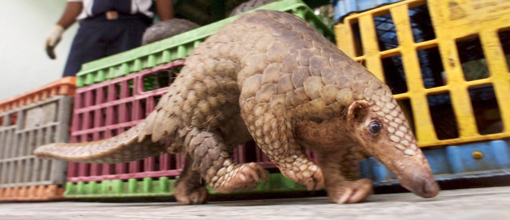 A Malaysian pangolin walks past cages containing 45 others as awildlife officer watches in Kuala Lumpur August 8, 2002. The Malaysianwildlife department on Wednesday seized 37 male and nine femalepangolins officials suspected were ready to be smuggled to restaurantsin China. Officers arrested two men believed to be part of aninternational smuggling ring trafficking protected species likepangolins, which are sold for 70 ringgit ($18) per kilo in illegalmarkets. Coronavirus china virus health healthcare who world health organization disease deaths pandemic epidemic worries concerns Health virus contagious contagion viruses diseases disease lab laboratory doctor health dr nurse medical medicine drugs vaccines vaccinations inoculations technology testing test medicinal biotechnology biotech biology chemistry physics microscope research influenza flu cold common cold bug risk symptomes respiratory china iran italy europe asia america south america north washing hands wash hands coughs sneezes spread spreading precaution precautions health warning covid 19 cov SARS 2019ncov wuhan sarscow wuhanpneumonia  pneumonia outbreak patients unhealthy fatality mortality elderly old elder age serious death deathly deadly