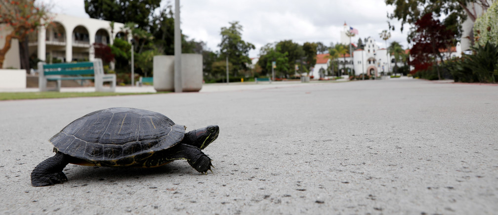 A turtle makes its way across the empty campus of San Diego State University during the outbreak of the coronavirus disease (COVID-19) in San Diego, California, U.S., May 13, 2020.  REUTERS/Mike Blake     TPX IMAGES OF THE DAY - RC2UNG944MLY