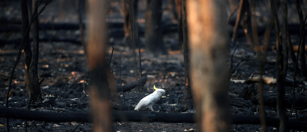 An injured sulphur-crested cockatoo walks through the burnt ground of Kosciuszko National Park in Providence Portal, New South Wales, Australia January 11, 2020.