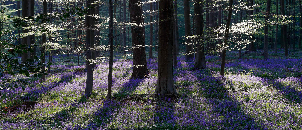 Wild bluebells, which bloom around mid-April, turning the forest completely blue, form a carpet in the Hallerbos, also known as the 'Blue Forest', near the Belgian city of Halle, Belgium April 20, 2018. REUTERS/Yves Herman     TPX IMAGES OF THE DAY - RC19FFD33A70