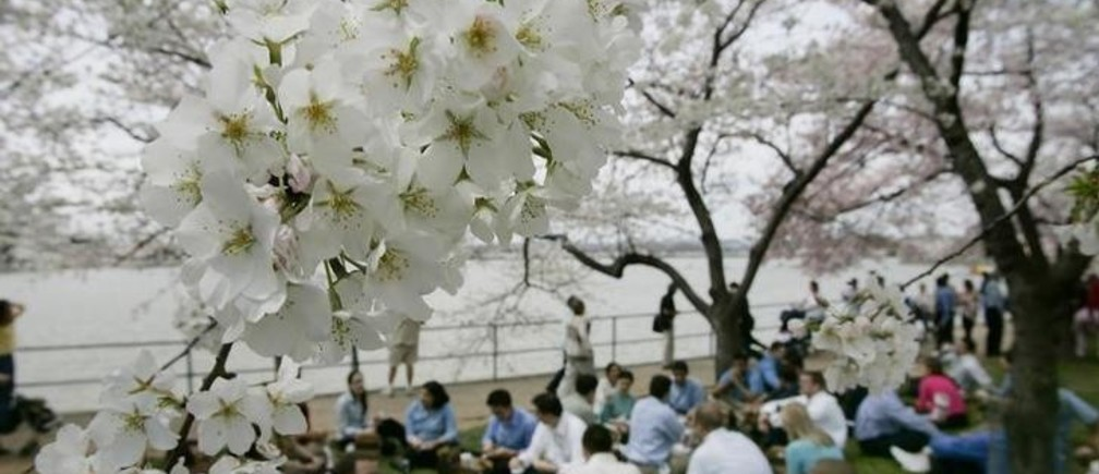 Office workers enjoy a picnic lunch under the cherry blossoms peaking along the tidal basin in Washington, April 7, 2005. The annual Cherry Blossom Festival runs through April 10th and marks the 93rd celebration of the original gift of the 3,000 cherry trees from the city of Tokyo to Washington. REUTERS/Jason Reed  JIR