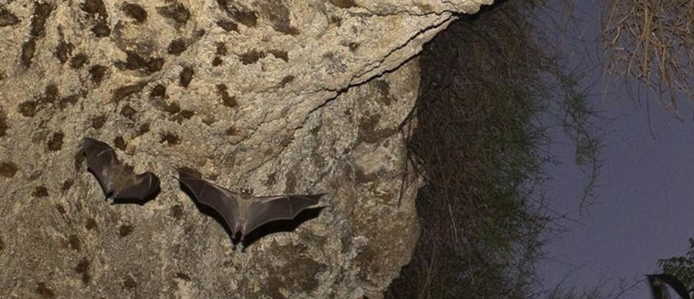Bats fly in a cave in Herzliya, near Tel Aviv July 31, 2012. Israeli researchers aim to reveal the secrets of bats to shed more light on the behaviour and cognition of the species. They hope their findings could pave the way for new and improved radar systems and robotic technologies. Picture taken July 31, 2012. REUTERS/Nir Elias (ISRAEL - Tags: SCIENCE TECHNOLOGY ANIMALS)