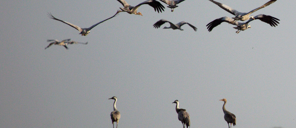 Cranes are seen at the Duchang wetland of Poyang Lake in Jiujiang, Jiangxi province, China October 30, 2019. Picture taken October 30, 2019. REUTERS/Stringer ATTENTION EDITORS - THIS IMAGE WAS PROVIDED BY A THIRD PARTY. CHINA OUT. - RC1903A823F0