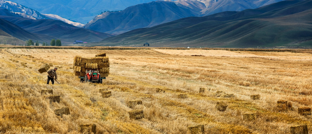 A farmer harvests in a crop field in Yili, Xinjiang Autonomous Region, October 3, 2015. The world's largest makers of tractors and combines are finding a rare opportunity for growth in China despite a sharp slowdown in the world's No. 2 economy, with big farm machines in demand as the rural labor force shrinks and plot sizes grow. Picture taken October 3, 2015. REUTERS/China Daily CHINA OUT. NO COMMERCIAL OR EDITORIAL SALES IN CHINA      TPX IMAGES OF THE DAY      - GF10000231690
