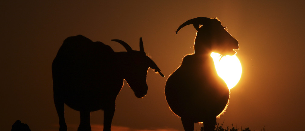 Two goats are seen during the sunset in the north coast of the Spanish island of Menorca June 21, 2008. REUTERS/Dani Cardona (SPAIN) - GM1E46M0KJX01