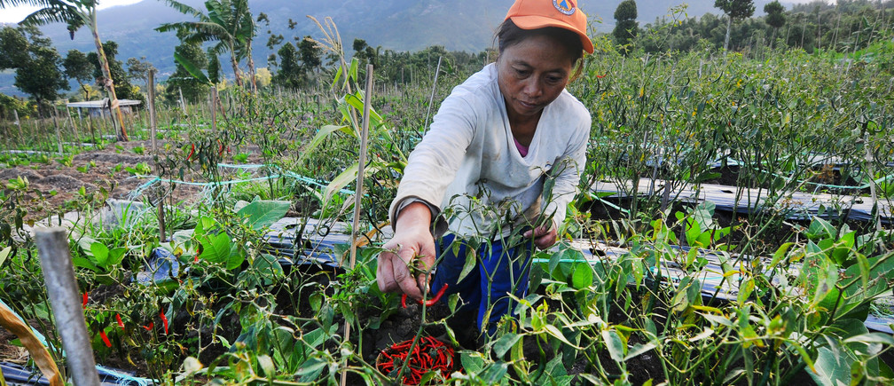 A farmer picks chili peppers on a farm with Mount Merapi volcano in the background after its alert level was increased following a series of minor eruptions in Boyolali, Central Java, Indonesia, May 22, 2018 in this photo taken by Antara Foto.  Antara Foto/Aloysius Jarot Nugroho/via REUTERS    ATTENTION EDITORS - THIS IMAGE HAS BEEN SUPPLIED BY A THIRD PARTY. MANDATORY CREDIT. INDONESIA OUT. NO COMMERCIAL OR EDITORIAL SALES IN INDONESIA. - RC1E79394B50