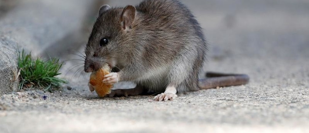A rat eats pieces of bread thrown by tourists near the Pont-Neuf bridge over the river Seine in Paris, France, August 1, 2017.  REUTERS/Christian Hartmann - RC11D282A0E0
